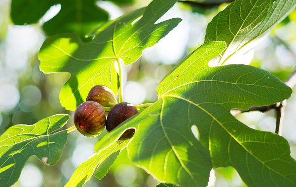 The Surprising Love Life of the Fig