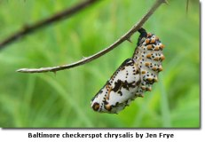 baltimorecheckerspotchrysalis