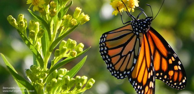The Monarch's Incredible Journey